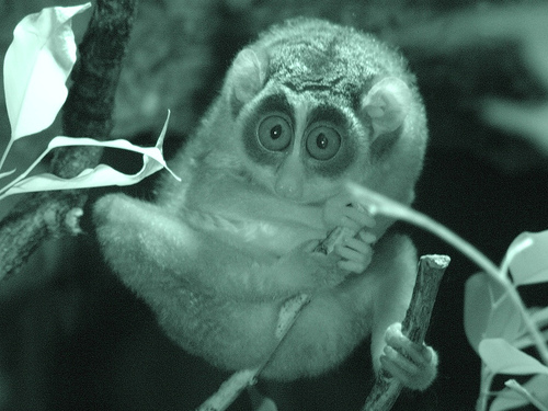 The bush baby watches you sleep.